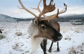Resultado de imagem para arctic reindeer