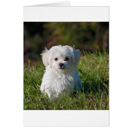 Maltese Puppy In Grass Zazzle Com Cute White Puppies White