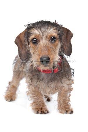 Stock Photo Wire Haired Dachshund Dachshund Dog Weenie Dogs