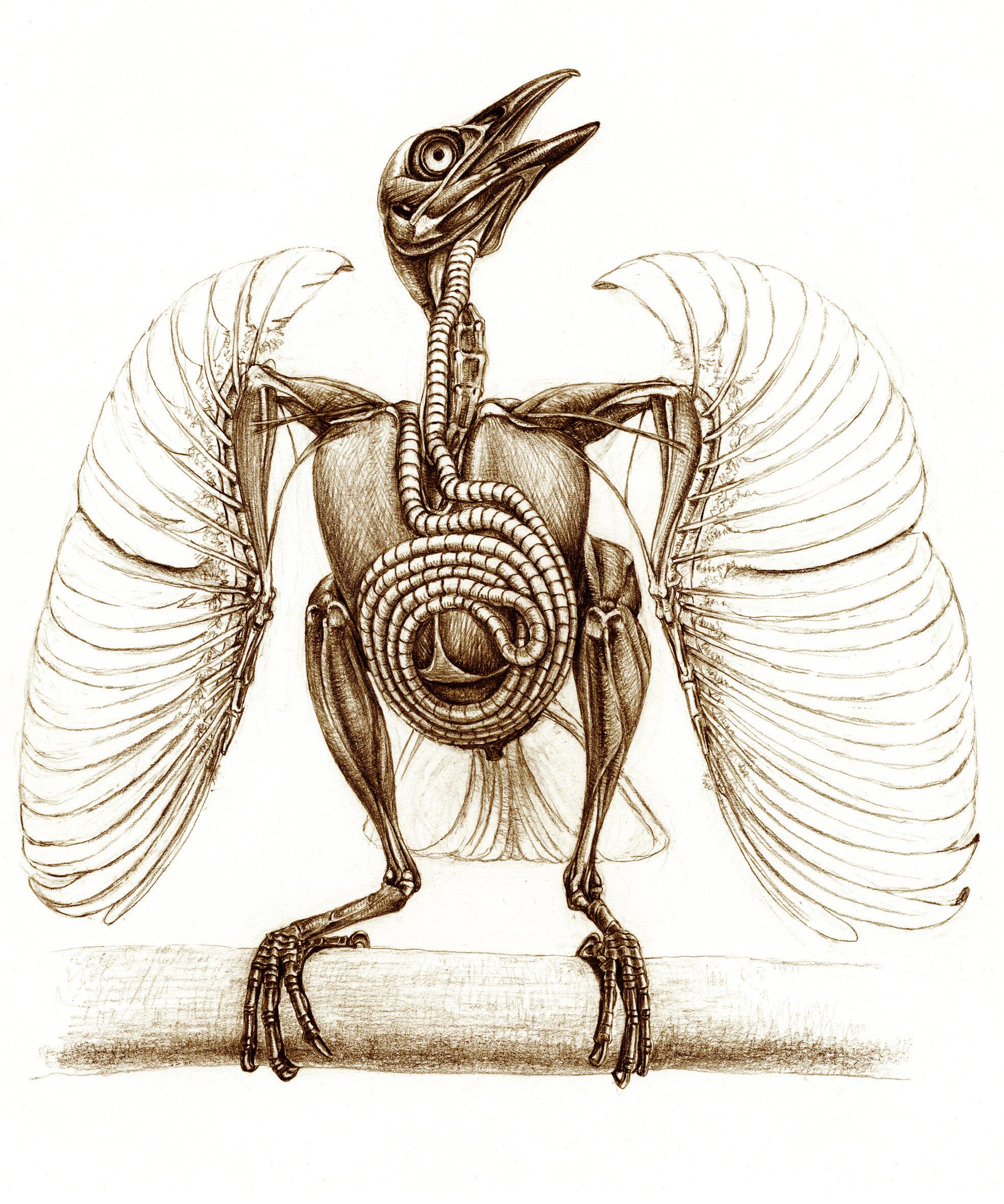анатомия птиц картинки