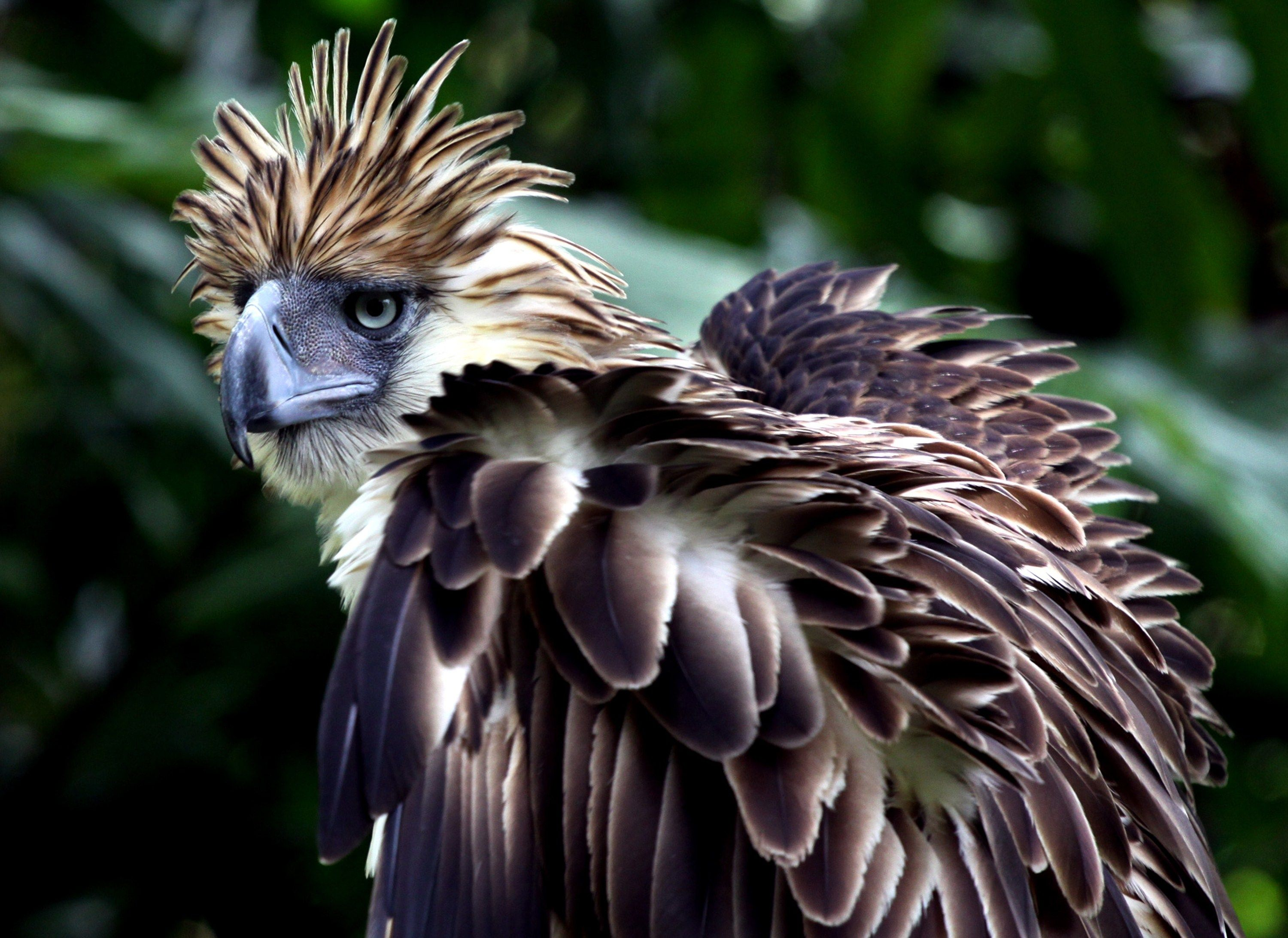 3 Philippine Eagle HD Wallpapers Backgrounds Wallpaper