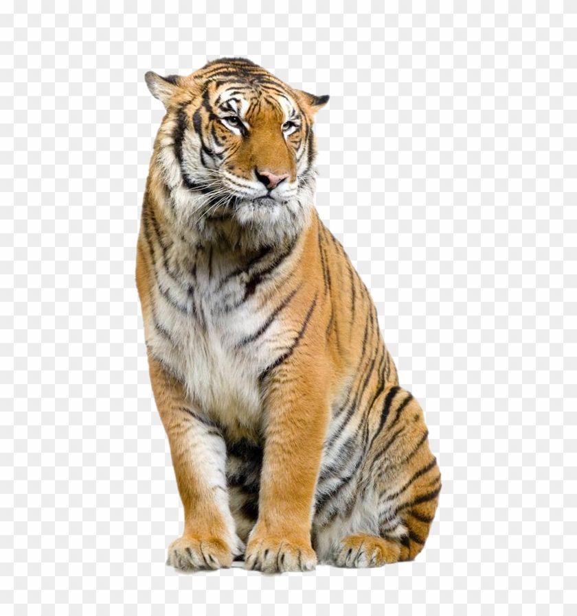 Jaguar Felidae Leopard Bengal Tiger Lion Clipart Hd Png Tiger Transparent Png Is High Quality 539 860 Transparent Png Stocked Tiger Lion Clipart Bengal Tiger