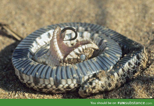 The Western Hognose Snake Plays Dead When Threatened Funsubstance Hognose Snake Western Hognose Snake Cute Snake