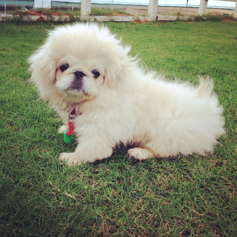 Cute Pekignese In Dubai Furry Friends Animal Nutrition Dogs