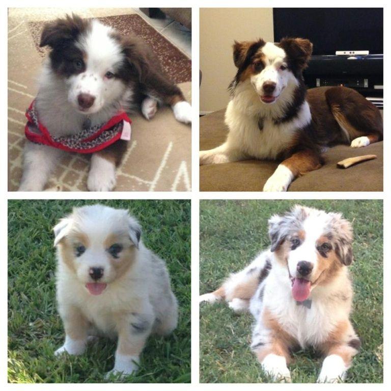 They grow up fast! I love dogs, Australian shepherd