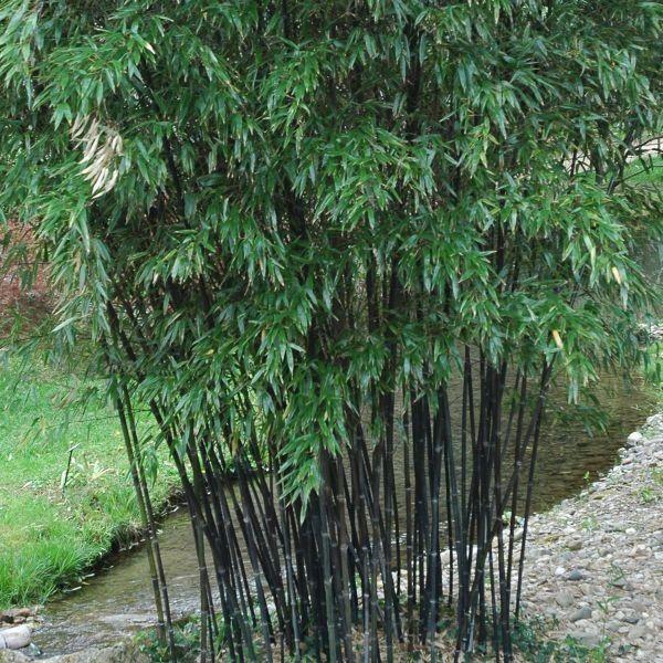 Black bamboo garden decorating ideas clumping bamboo for Zen garden trees