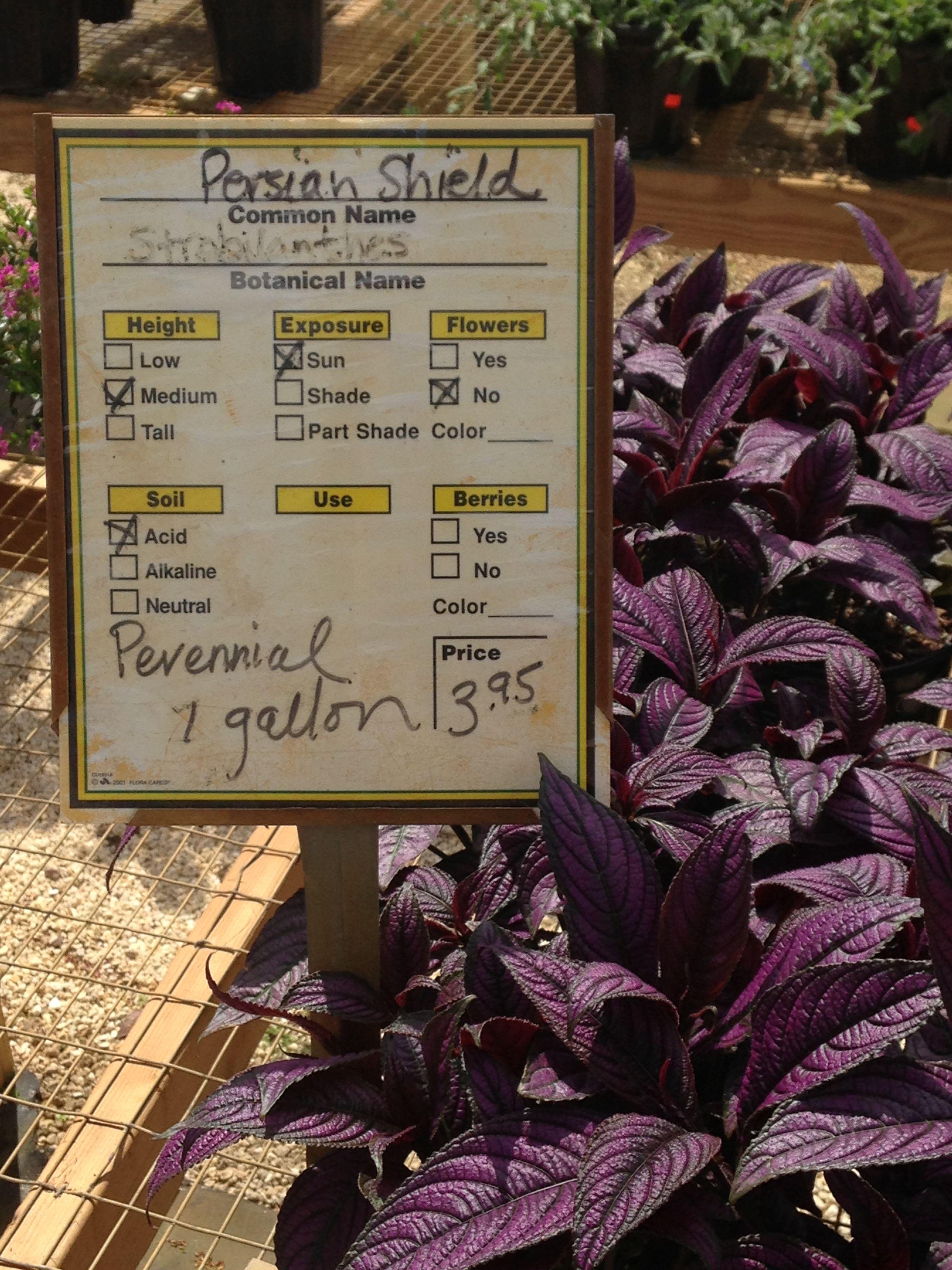Persian shield. Purple leaves