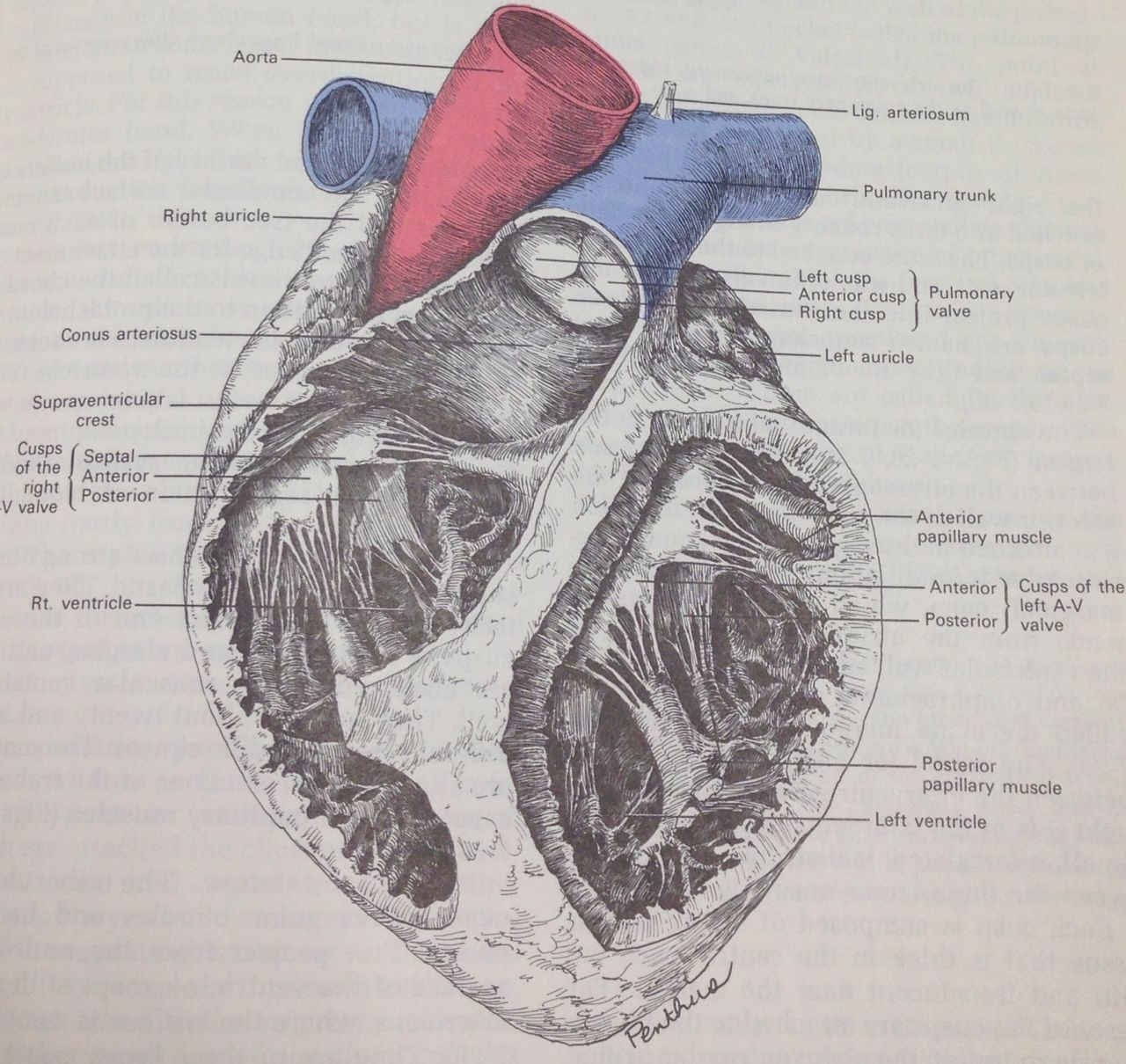 grey\'s anatomy book heart - Google Search | Human Body Illustrations ...