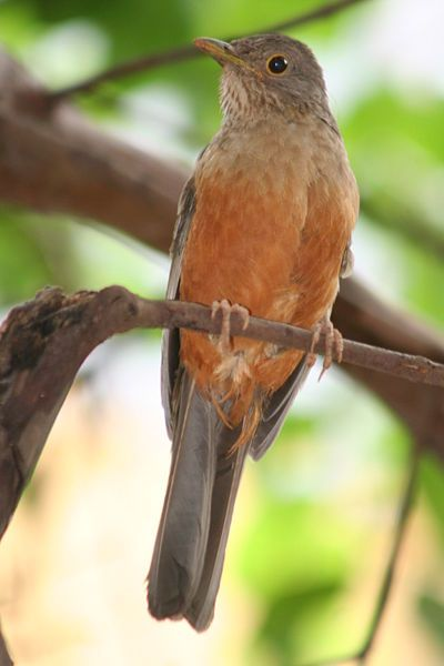 Rufous Bellied Thrush Turdus Rufiventris Is A Songbird Of The