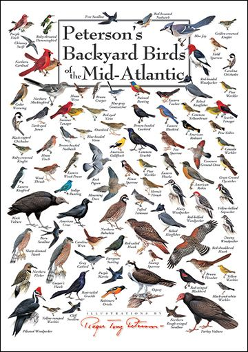 Merveilleux Petersonu0027s Backyard Birds Of The Mid Atlantic Poster