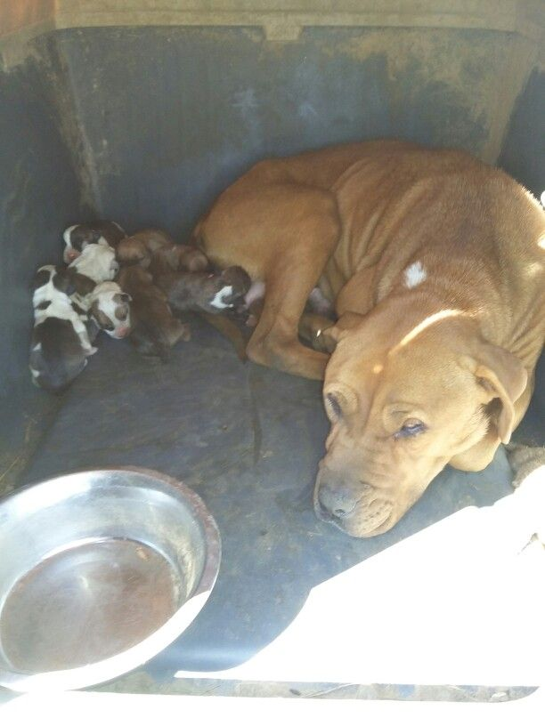 Idabel Oklahoma Pitbulls Puppies Dogs