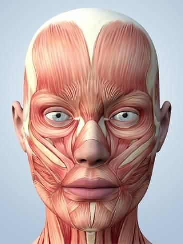Photographic Print: Muscular System of the Head by