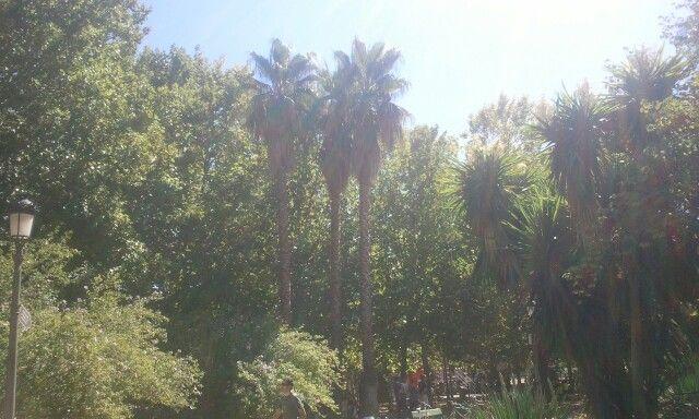 Palmeras californiana.