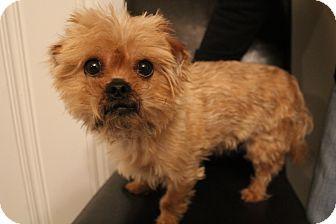 Hamburg Pa Yorkie Yorkshire Terrier Pekingese Mix Meet Triton A Dog For Adoption Yorkshire Terrier Yorkie Yorkie Yorkshire Terrier