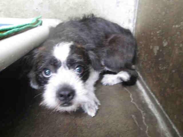 Brusston Dog For Adoption In Orange Ca Adn 613438 On Puppyfinder