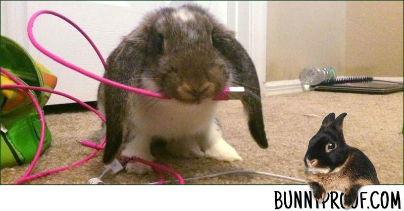 Stop your rabbit chewing wires, carpet, & baseboards | B.B ...