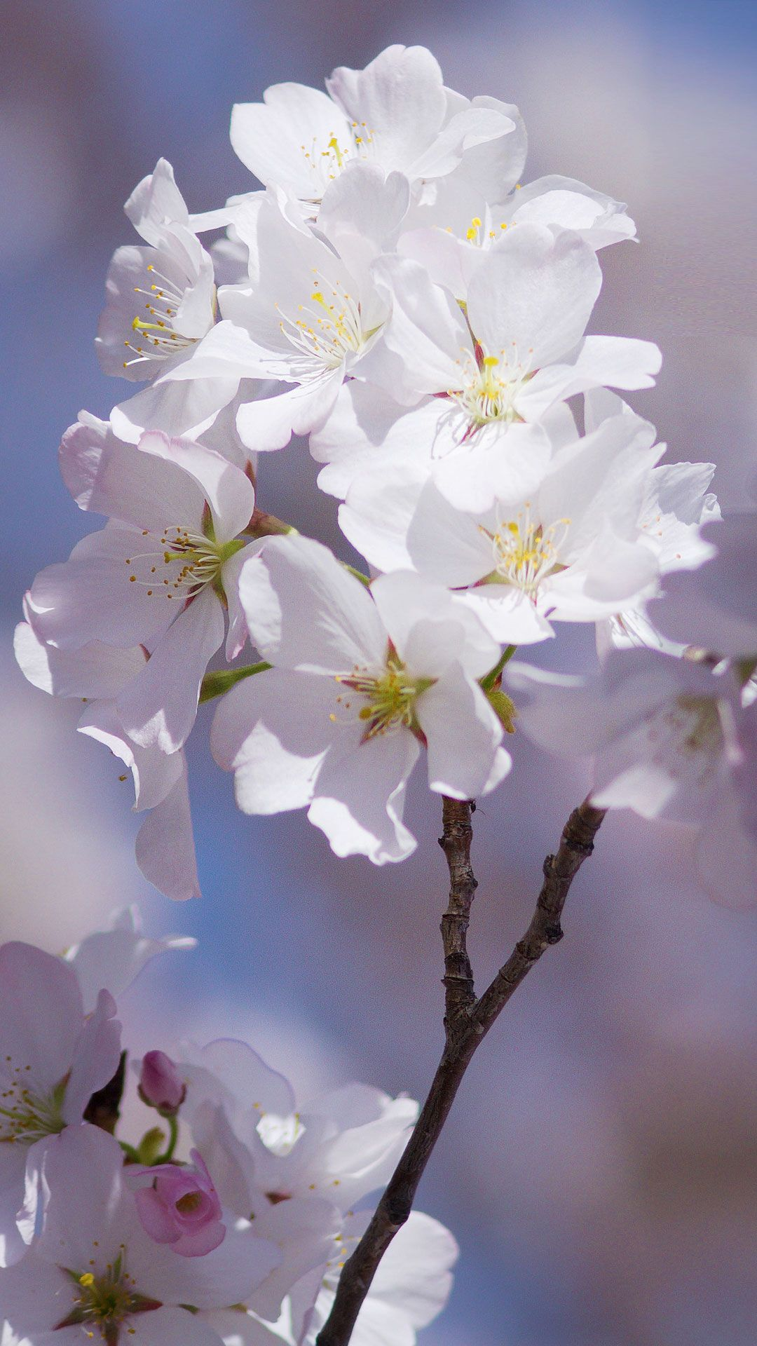 Free Android Cherry Blossom Wallpaper IPhone