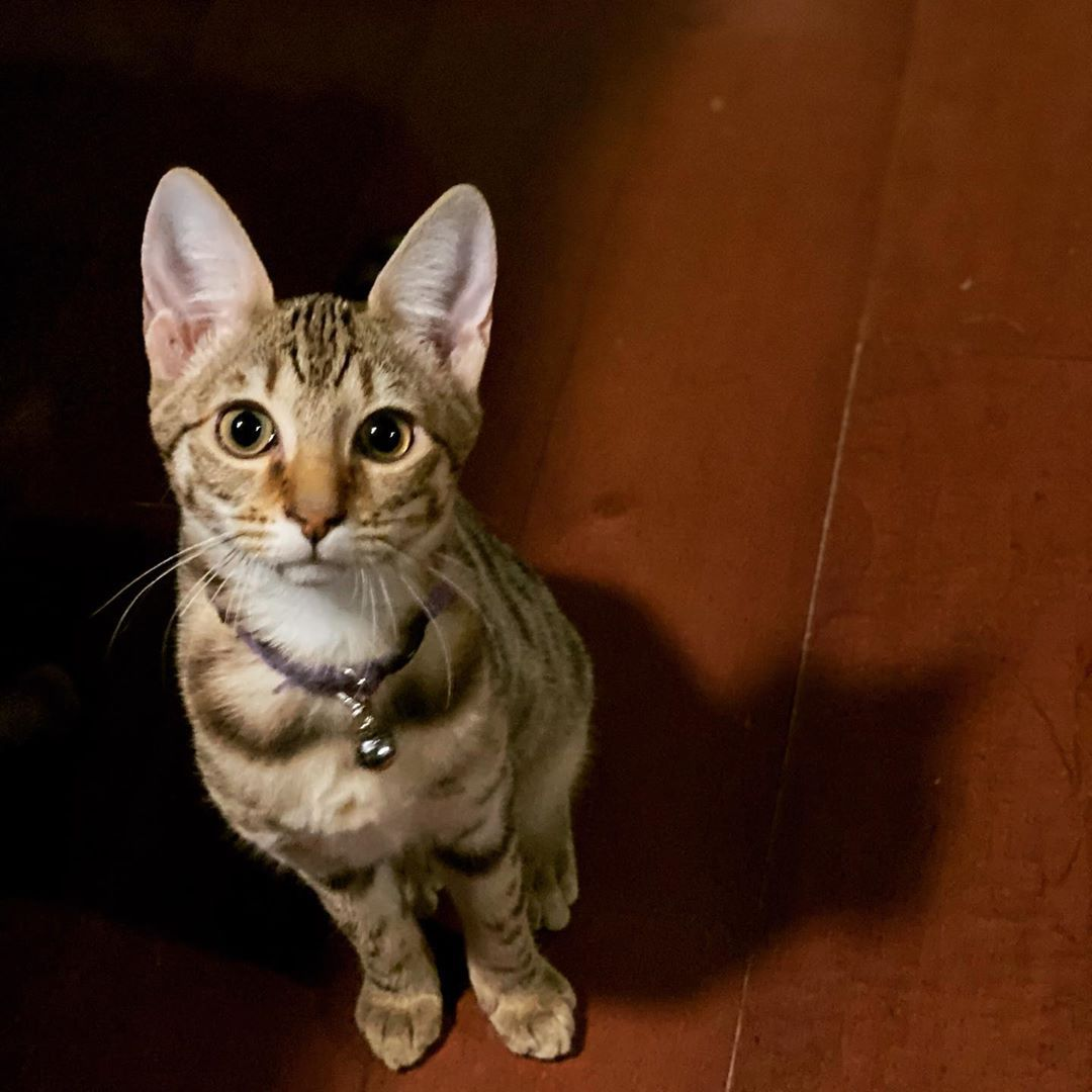 Available F6sbt Jade She Is Everything You Would Love And Want In A Savannah And So Much More She Is Looking For Her Instagr Cat Day Savannah Kitten Cats