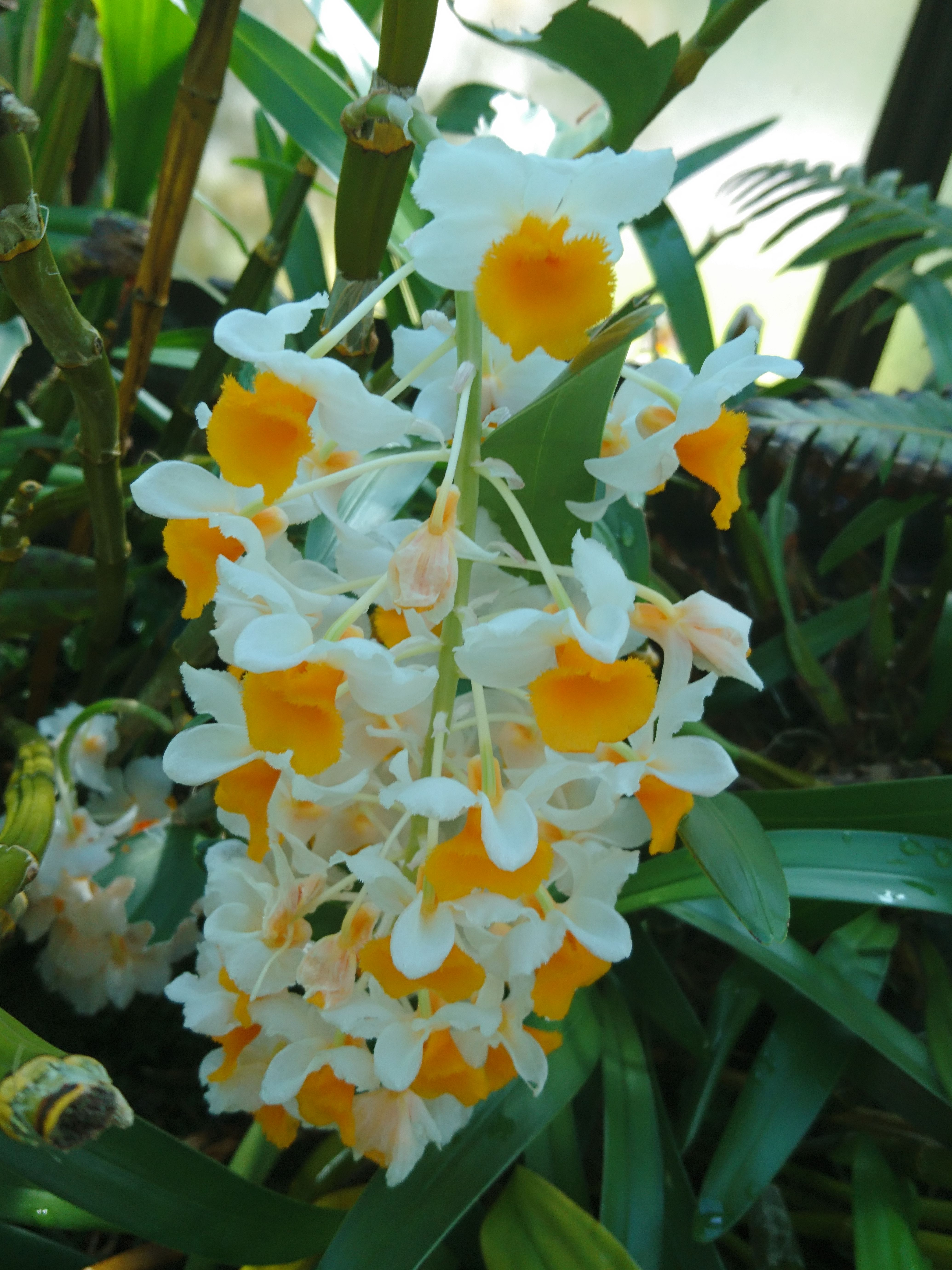 Dendrobium part of the national collection glasgow orchids
