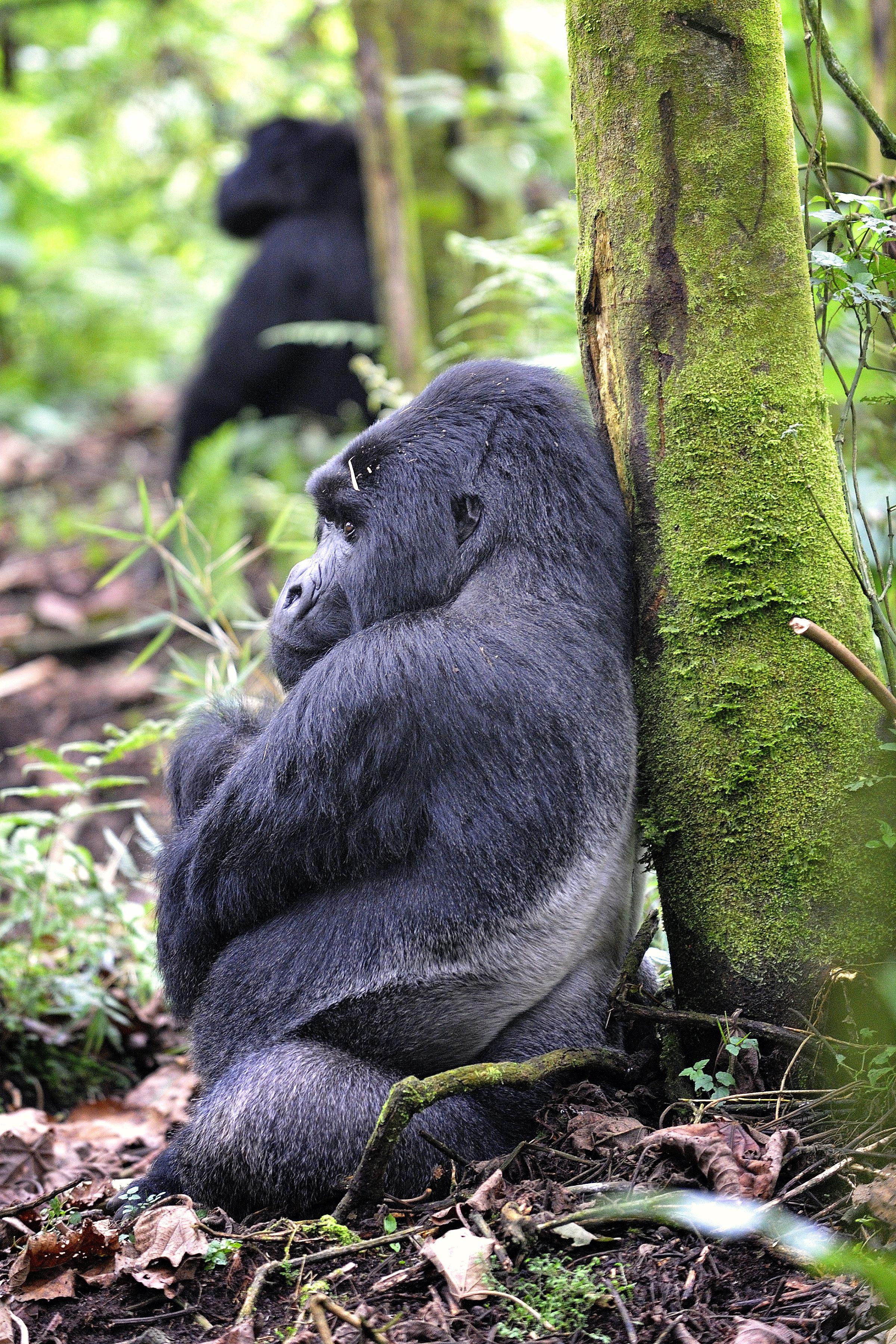 Gorilla   Lightnetics