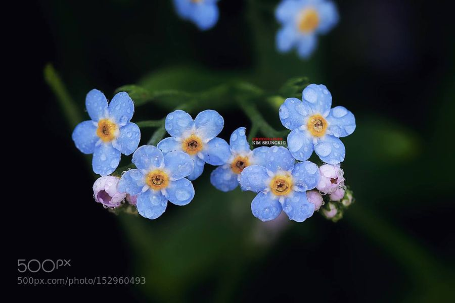 forget-me-not by shark0916. @go4fotos