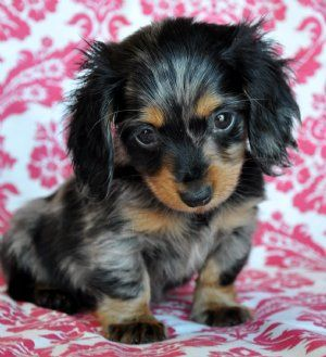 If All I Had To Look At For The Rest Of My Life Were Dachshund