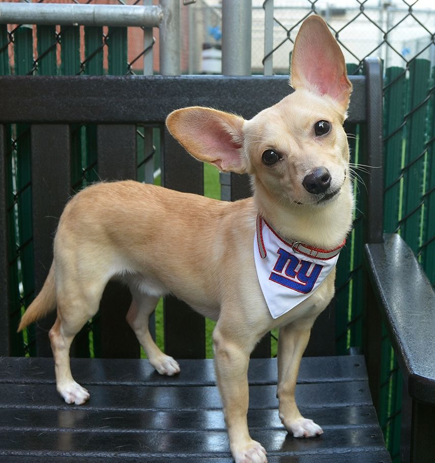 Chase ID 36153 **PUPPY** ia a 1 yr old chihuahua mix