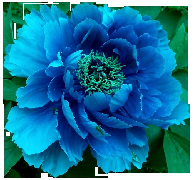 transparent flowers blue peony x kunst pinterest blue peonies peony and flowers. Black Bedroom Furniture Sets. Home Design Ideas