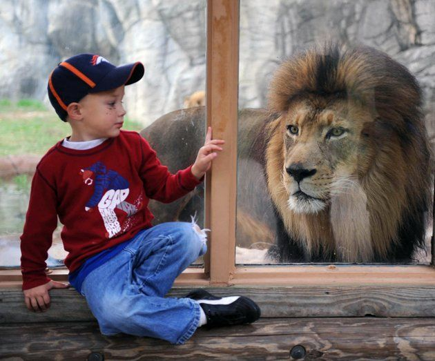Michael Davisson 4 Waits By A Window As Cameron Park Zoo Lion Sam Jack Gets A Closer Look At The Activities Saturday Nov 12 Animals Zoo Photos Snapshots