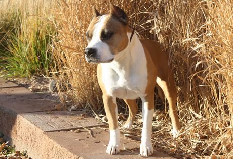 American Staffordshire Terrier Dog Breed Information American