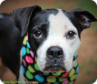 Fayetteville, WV Boxer/Boston Terrier Mix. Meet Poppy, a
