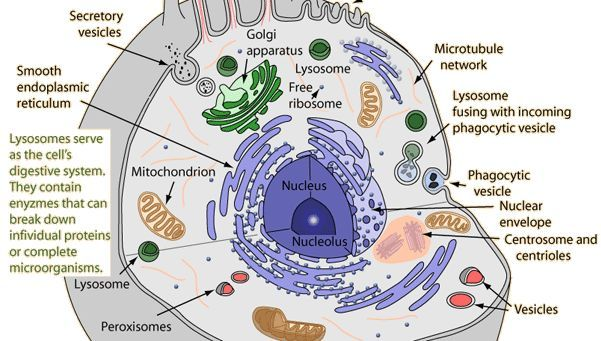 Module 4; Within eukaryotic cells are specialized vesicles ...