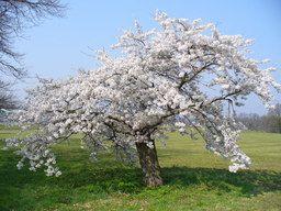 Cerisier En Fleurs Arbre Fleuri Fleur De Cerisier Fleurs