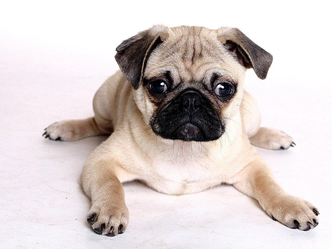 How Long Can You Leave Your Pug Alone Pugs Not Drugs