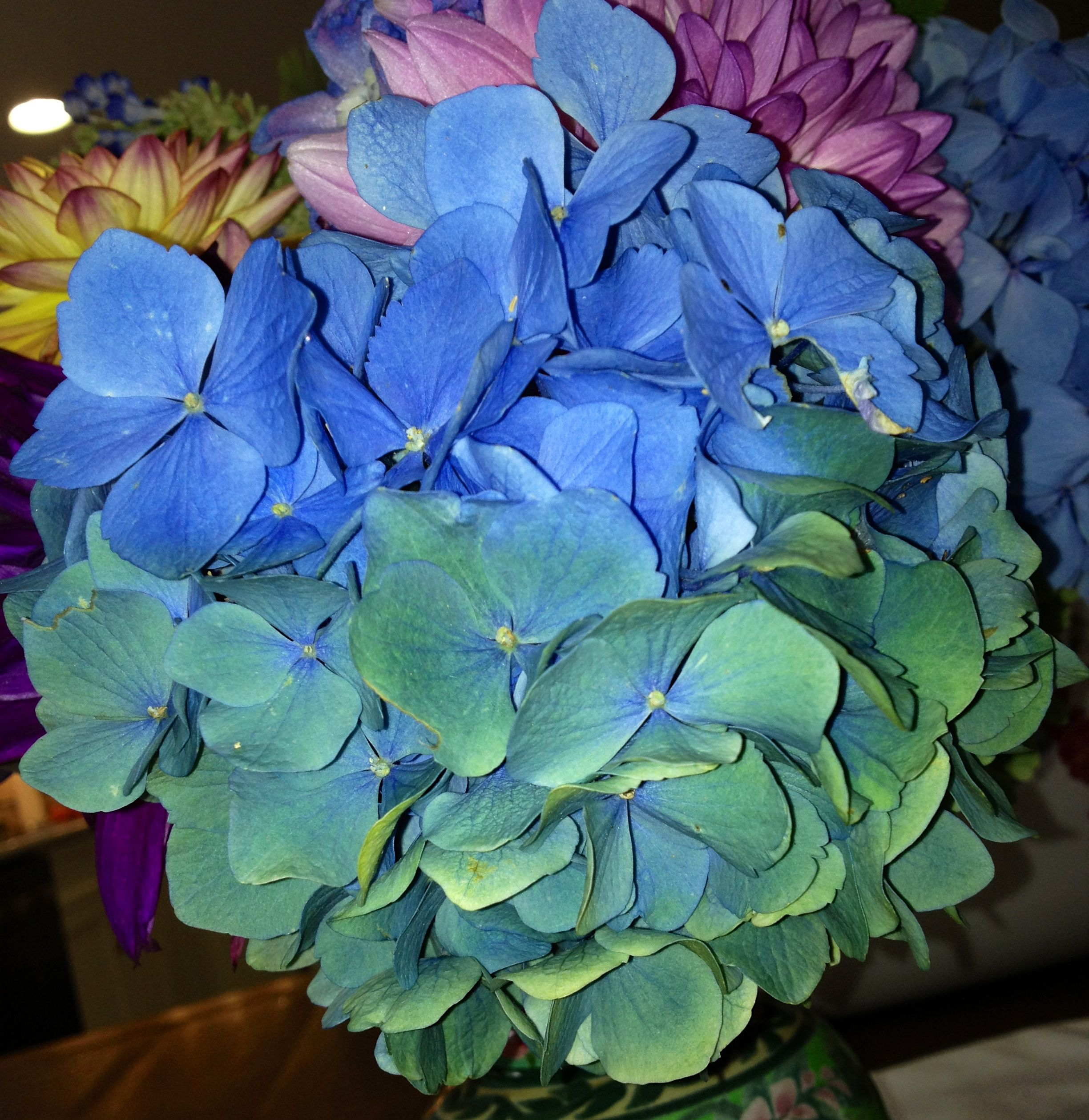 Blue Hydrangeas They Change Into Many Wonderful Shades In The Fall