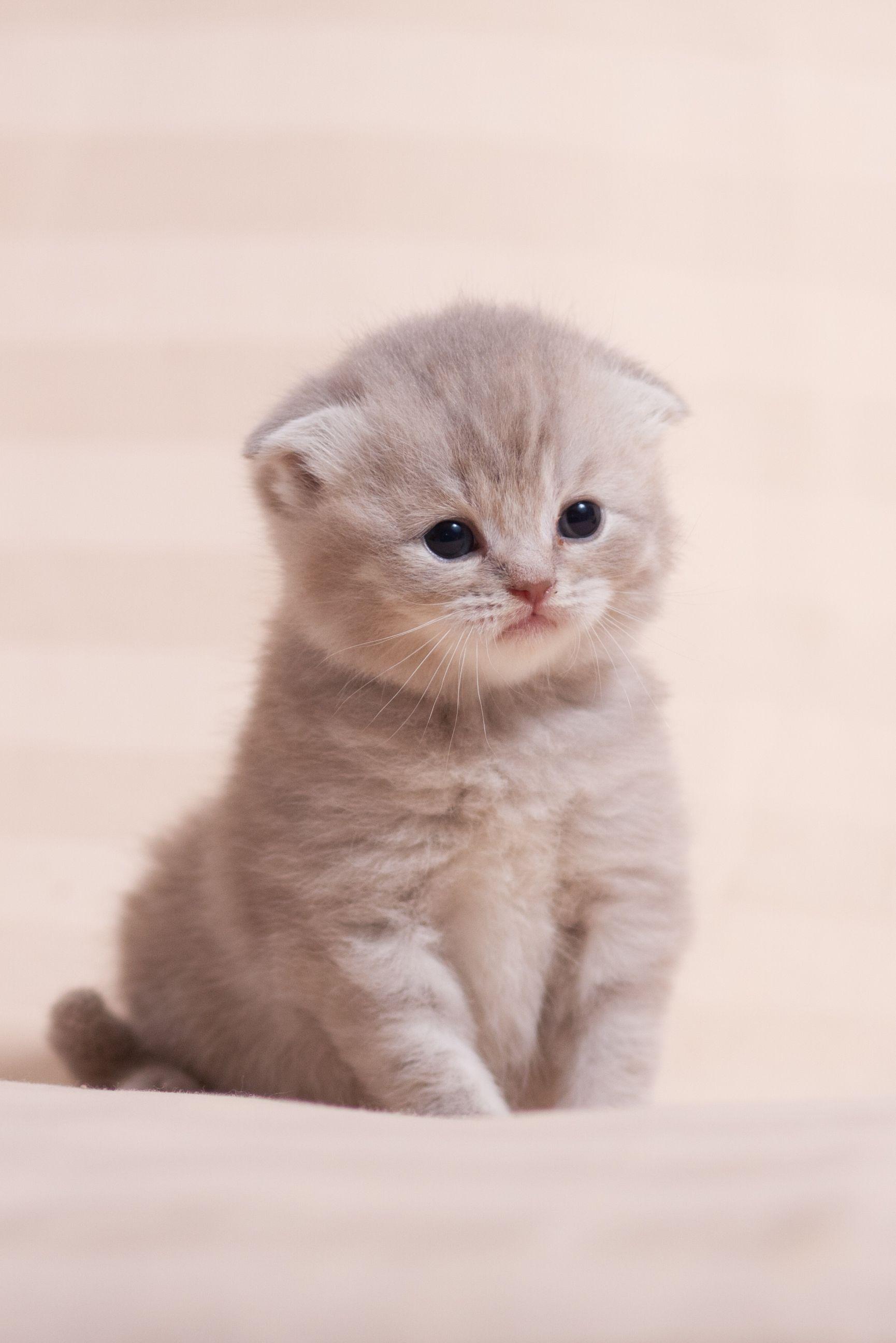 картинки на телефон котята вислоухие кстати, первом, втором