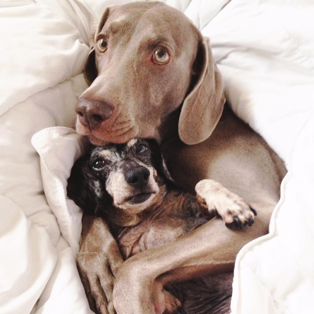 Harlow And Sage On Twitter Weimaraner Dog Rules Cute Dogs