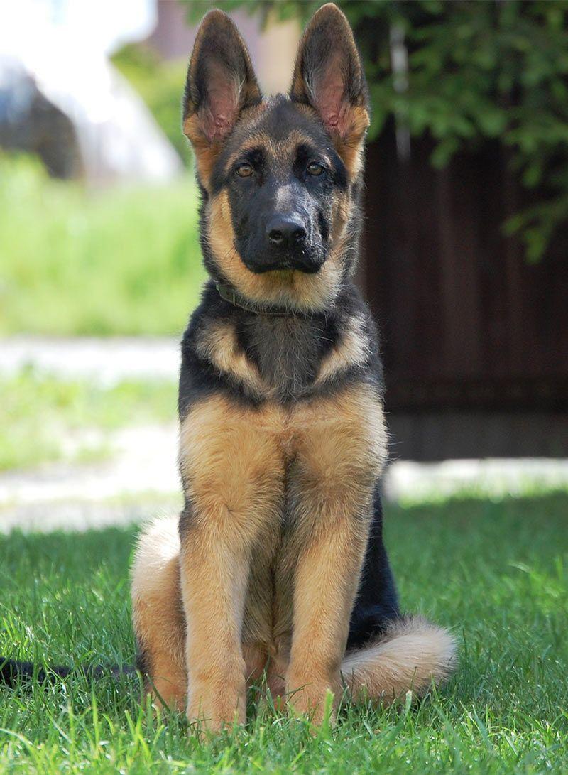 Lion German Shepherd Dog Names