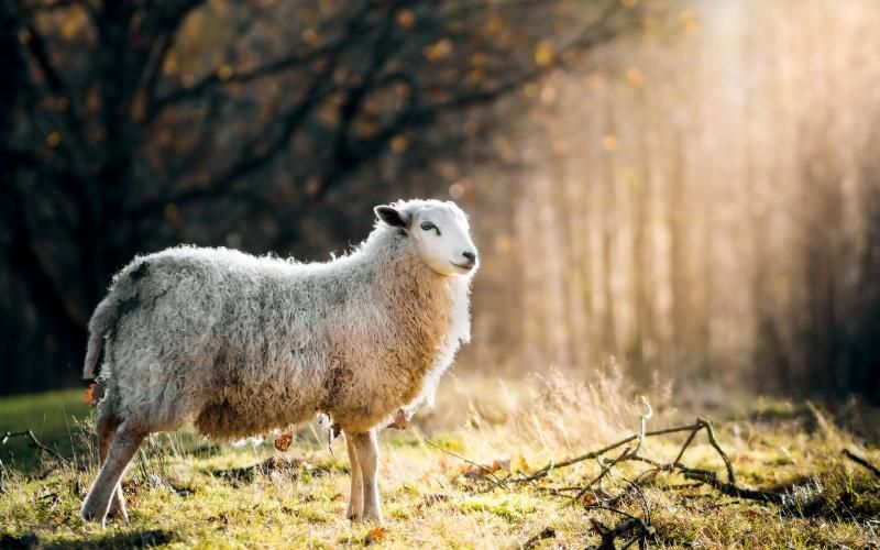Download Premium Image Of Scottish Sheep Standing Alone On A Field Mobile Field Wallpaper Sheep Couple Wallpaper