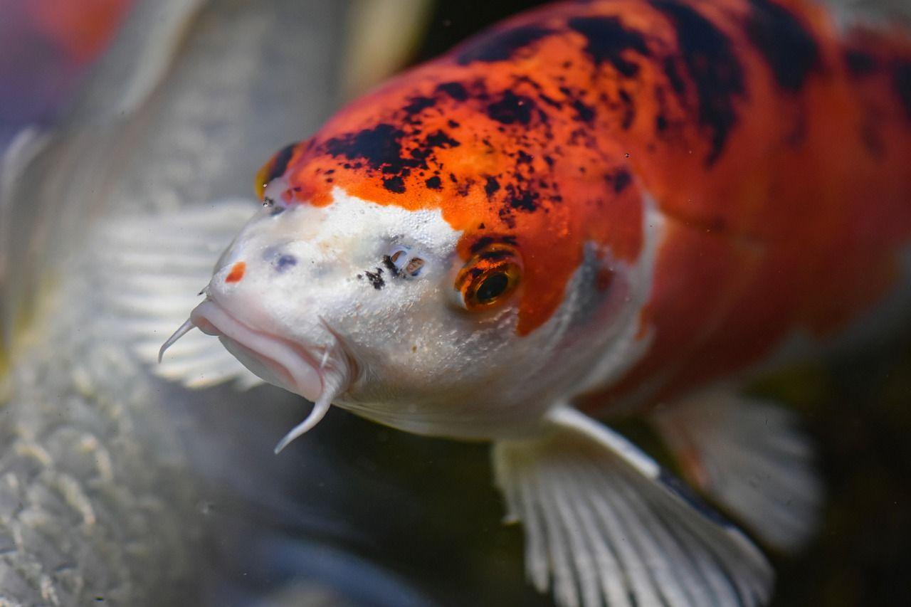 Free Image On Pixabay Koi Pond Fish Japanese Nature Koi Japanese Nature Fish