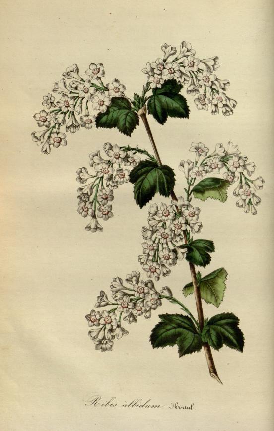 v.1 (1845) - Flore des serres et des jardins de l'Europe - Louis van Houtte - Biodiversity Heritage Library