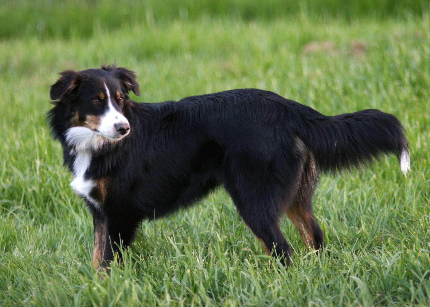 Snowy River S Bess English Shepherd Dog Breeds Medium Dog Breeds