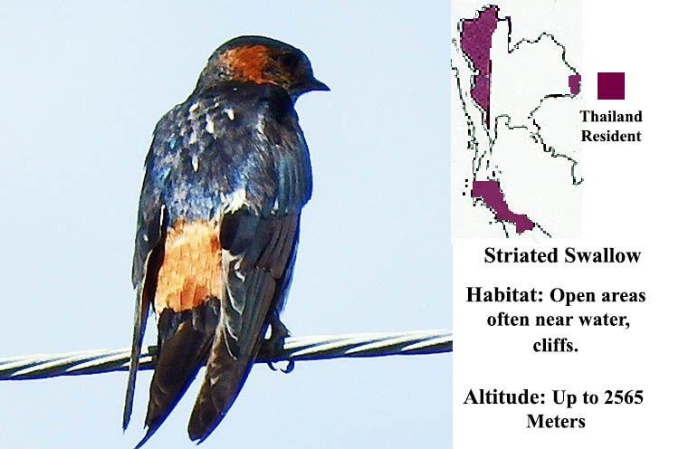 Striated Swallow Information Bird Photo Thailand Bird Watching