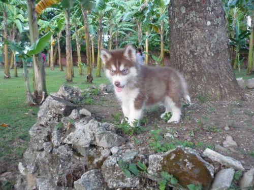 Adventurous Husky Puppy Husky Puppy Cutest Puppy Ever Siberian