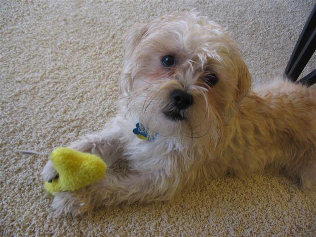 Schnau Tzu So Stinkin Cute Cute Small Dogs Dog Breeder Pet