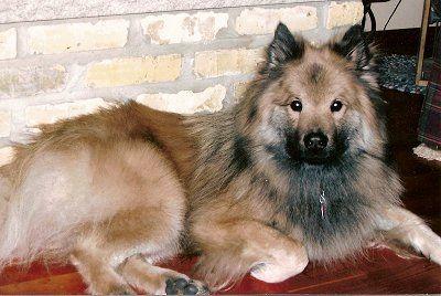 Eurasier Dog Photo Eurasier Pups Dog Breeds Eurasier