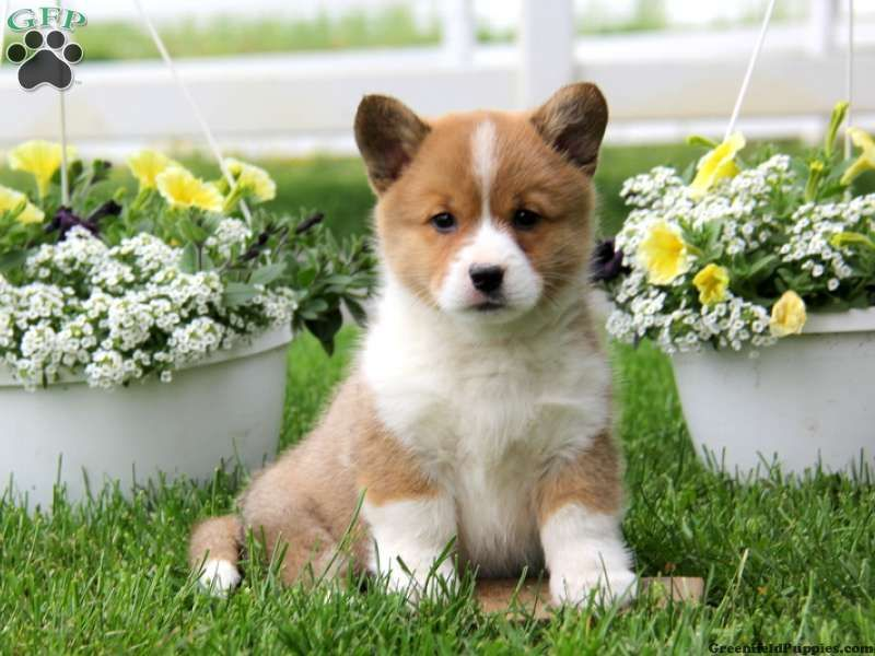 Cardigan Welsh Corgi Puppies For Sale Indiana References