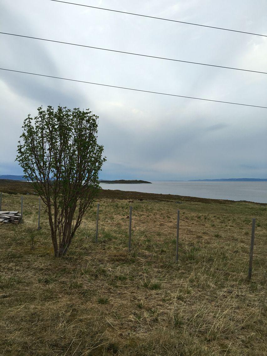 Vær hardt ute på Veidnes i Porsanger . Rognetræet står stødig .