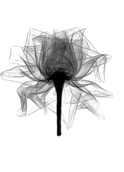 X Ray Of Rose Watercolor Amazing Tattoo For Me Yeti: Xray Flower, Art, Canvas Art