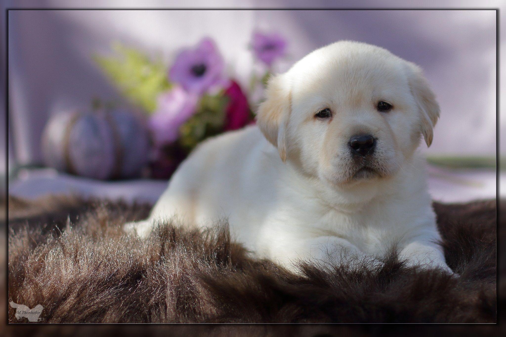 """Labrador Welpe aus der Zuchtstätte """"Bernerelite"""" FCI (mit"""
